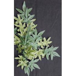 Terarijní rostlina Abutilon